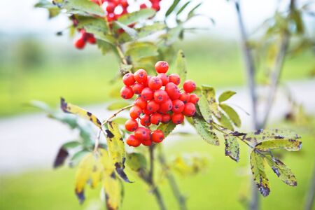 Twig of fresh red and ripe berries of ashberry