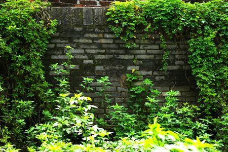 Vine on the brickwall