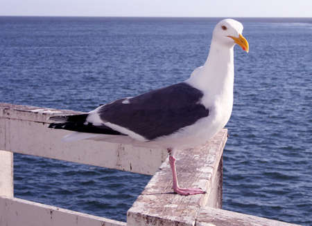 Shifty Seagull