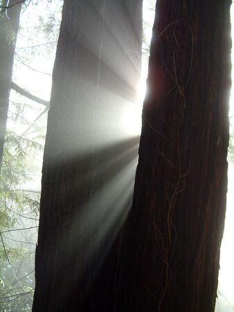 Sun beams shining thru a redwood tree