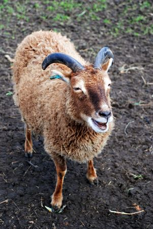 feral: A photograph of a Soay Sheep, a rare, primitive breed of domestic sheep, descended from a population of feral sheep on the 250-acre island of Soay in the St. Kilda Archipelago, about 65 km from the Western Isles of Scotland.