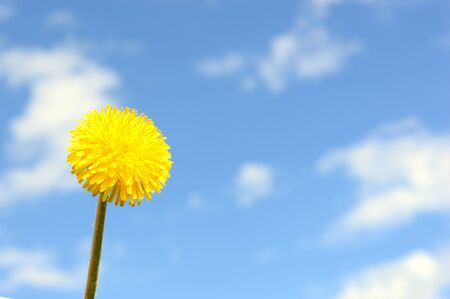 Bouquet of blossoming dandelions against the blue sky left