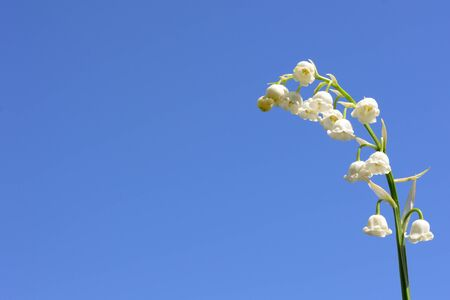 lily of the valley white blooming flower on a background of blue sky horizontal to the right
