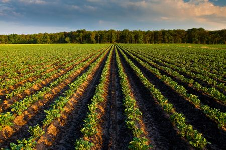 Countryside with potato field and trees