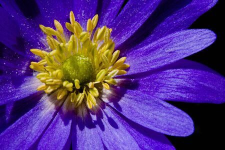 bouqet: Anemone flower bouqet Stock Photo