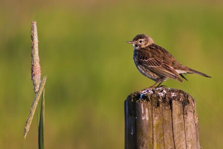 stanchion: Small bird pipit on a stanchion Stock Photo