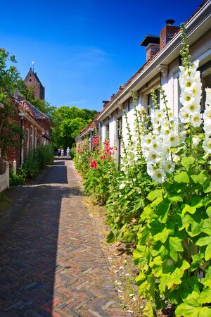 Alcea rosea flowers standing against houses in a street photo