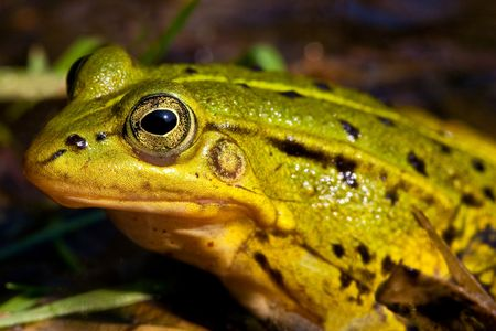 Green frog sitting in shallow water in closeup photo