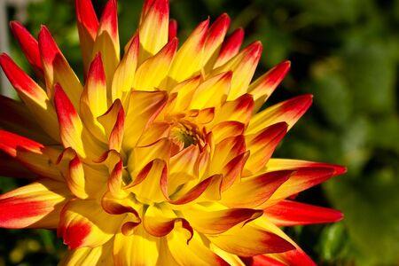 Cuore di un rosso / fiore dalia gialla come un primo piano Archivio Fotografico - 5208607