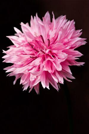 corn flower: Heart of a corn flower as closeup Stock Photo