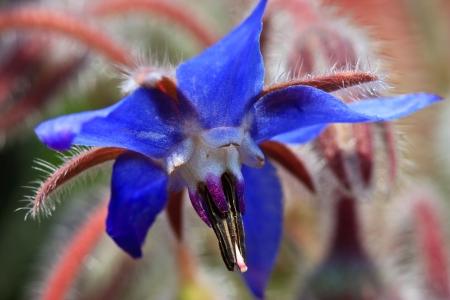 Blue borage, star flower in the garden
