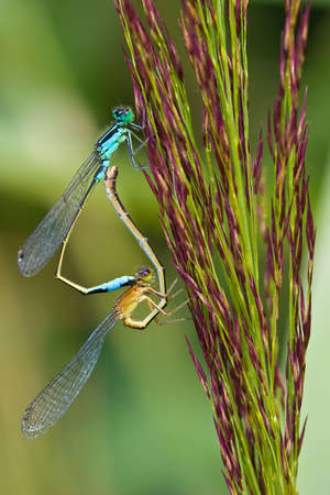 Mating wheel of two damselflys hanging in the green grass photo