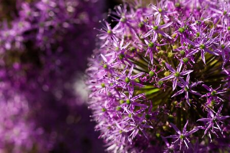 Purple allium union flower in closeup lit by the sun photo