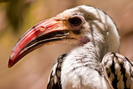 Red-billed Hornbill bird closeup of the head photo