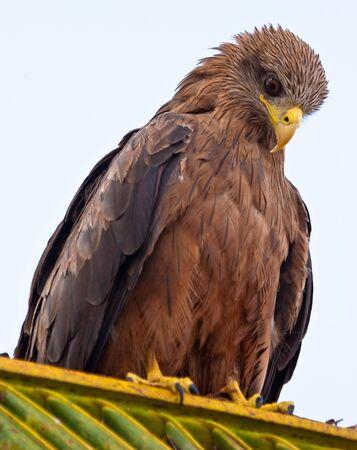 Kania czarna Ptak siedzi w Palma Zdjęcie Seryjne - 5257504