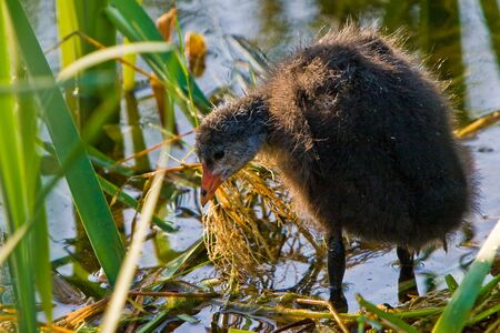 coot: Juvenile coot bird standing in the water