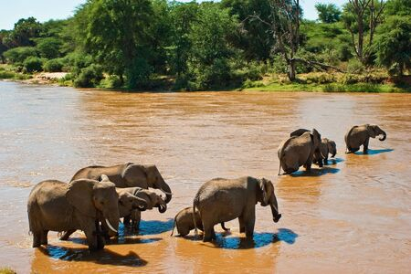 Elephant family crossing the brown river Stock Photo