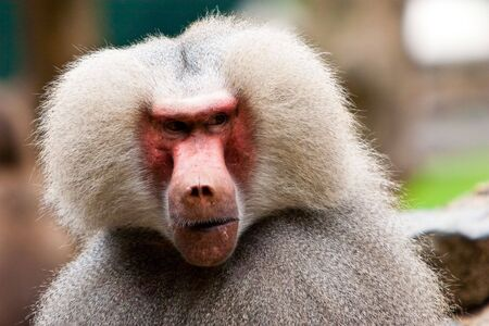 Monkey face in closeup photo