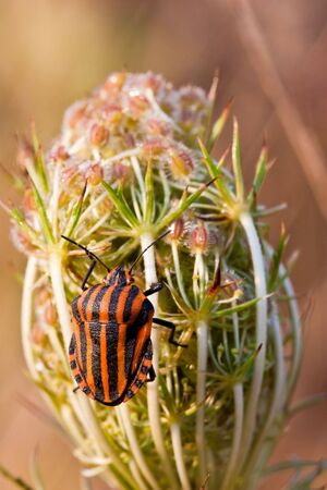 Black and red striped shield bug on a flower photo