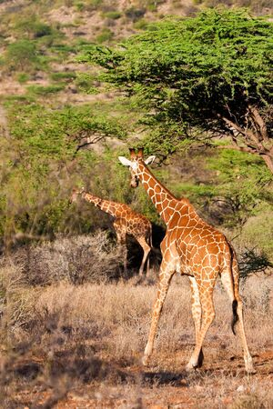 Giraffe animal in a national park in Kenya photo