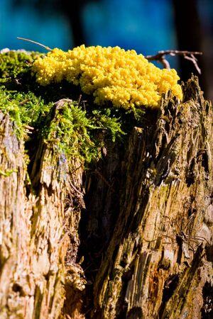 Yellow tinder fungi mushroom on a tree trunk lit by the sun photo