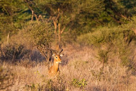 grants: Big male grants gazelle in the bushes on the outlook