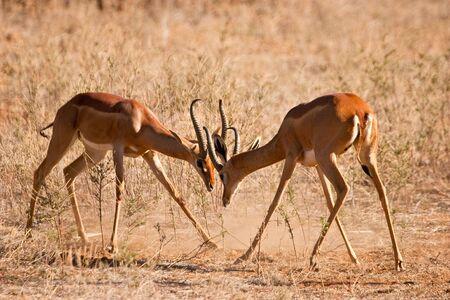 grants: Two fighting grants gazelle on the savanna