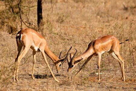 tanzania antelope: Two fighting grants gazelle on the savanna