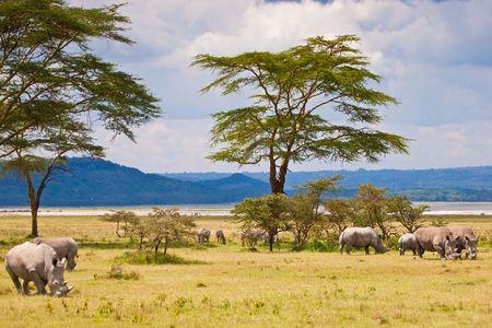 White rhinoceros grazing at lake Baringo in Kenia