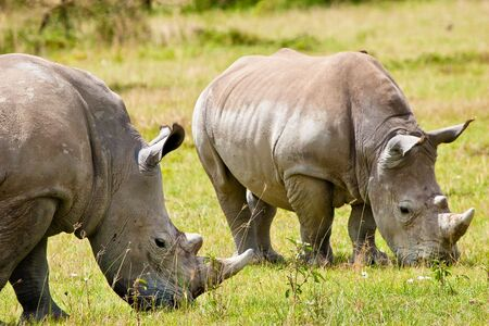 Two white rhinoceros grazing on the grass