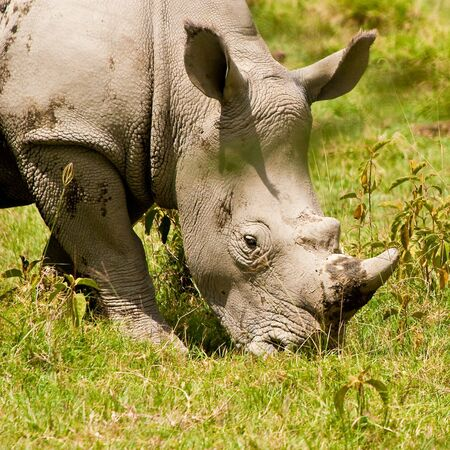 Two white rhinoceros grazing on the grass photo