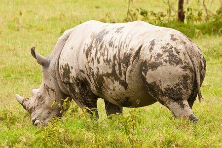 Two white rhinoceros grazing on the grass Stock Photo - 5279651