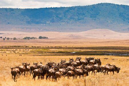 wildebeest: A herd of wildebeest antelopes on the serengeti Tanzania Stock Photo