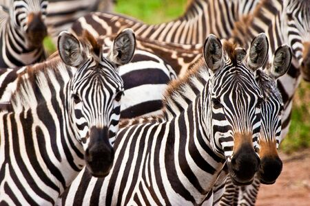 Zebra animal herd with a closeup of the heads Stock Photo
