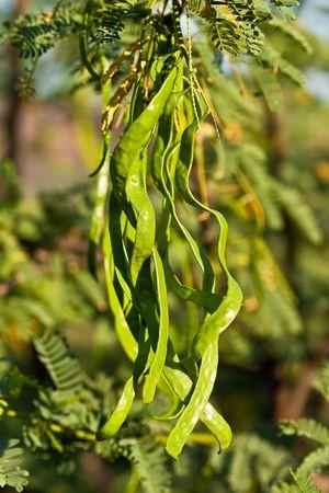 Acacia avec des haricots verts en gros plan Banque d'images - 5304395