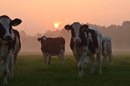 Sunrise over a grassland with cows and morning mist Stock Photo - 5328089