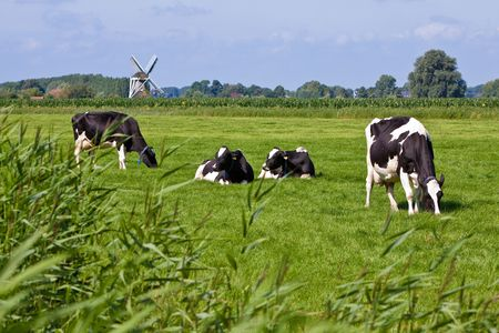 Cows in a grassland in the countryside on a summer day and windmill in the background