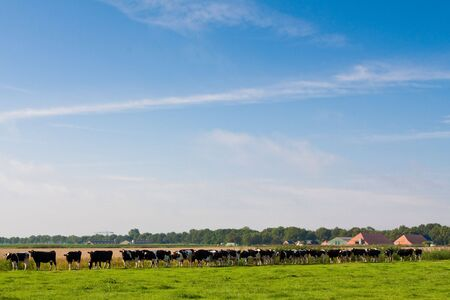 Cows walking towards a grassland from the farm in the morning Stock Photo - 5375879