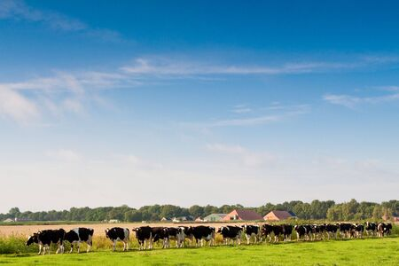 Cows walking towards a grassland from the farm in the morning Stock Photo - 5375888