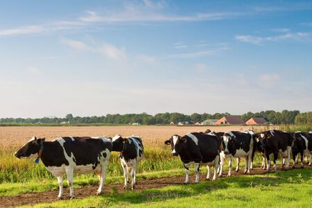 Cows walking towards a grassland from the farm in the morning Stock Photo - 5375894