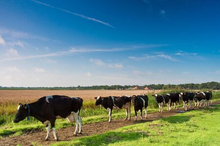 Cows walking towards a grassland from the farm in the morning Stock Photo - 5375902