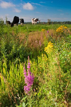 Ditch with weed flowers and cows in the background Stock Photo - 5375910