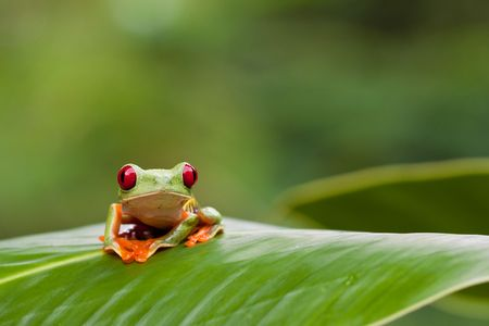 red frog: red-eyed tree frog on a leaf Stock Photo