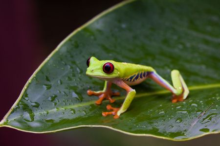 red-eyed tree frog on a leaf photo