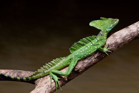 Jesus crist lizard sitting on a branch above water photo