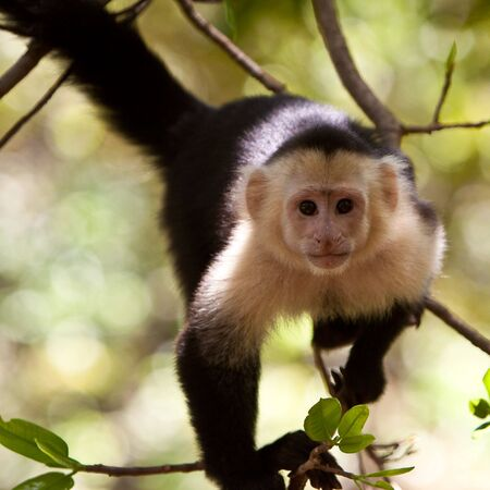 Capuchin monkey sitting in a tree