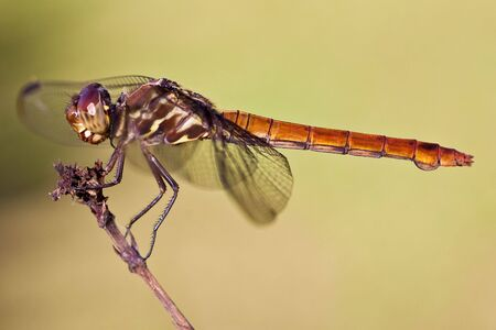 Closeup  of a odonata insect isolated from his background