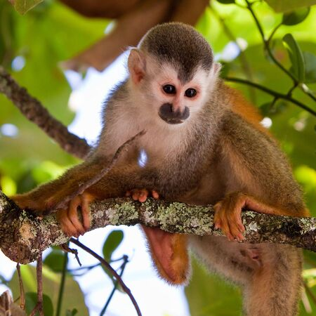 Squirrel monkey sitting on a branch in a tree