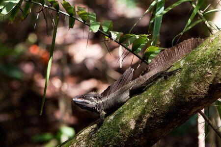 crist: Jesus crist lizard sitting on a branch in a tree Stock Photo