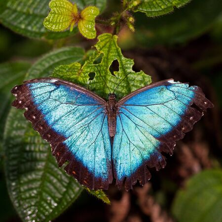 Morph butterfly sitting in a leaf in the jungle Stock Photo